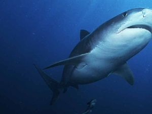 Shark nets like Japan's whale hunt